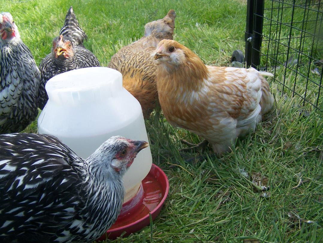 Фото поилок для цыплят своими руками